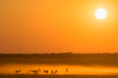Africa, Namibia, Etosha National Park, Springboks, Antidorcas marsupialis, at sunset - p300m2131874 by Fotofeeling