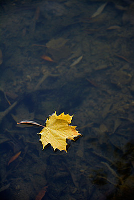 Yellow maple leaf - p876m880249 by ganguin
