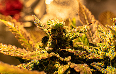 Growing sativa and indica strains indoor. Weed news from 2020 - p1166m2147507 by Cavan Images