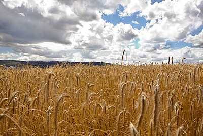 Corn ear - p26812327 by Arne Landwehr