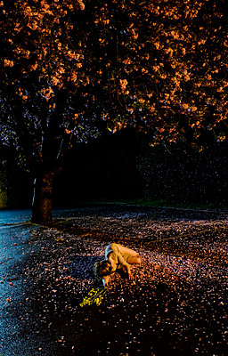 Girl underneath blossom tree at night - p3314519 by Kate Beatty
