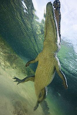 Low angle view of American crocodile (crodoylus acutus) in the shallows of Chinchorro Atoll, Mexico - p429m1181023 by Rodrigo Friscione