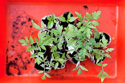 Tomatenpflanze - p570m866200 von Elke Röbken