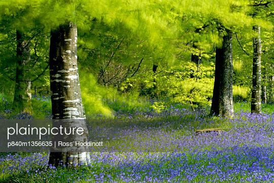 Beech  and Bluebell  woodland at Lanhydrock, Cornwall. UK. - p840m1356635 by Ross Hoddinott
