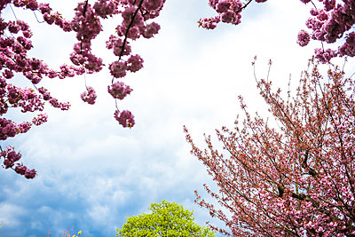 Cherry blossom - p1267m2184692 by Wolf Meier