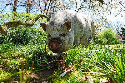 Schwein im Garten - p763m1160167 von co-o-peration
