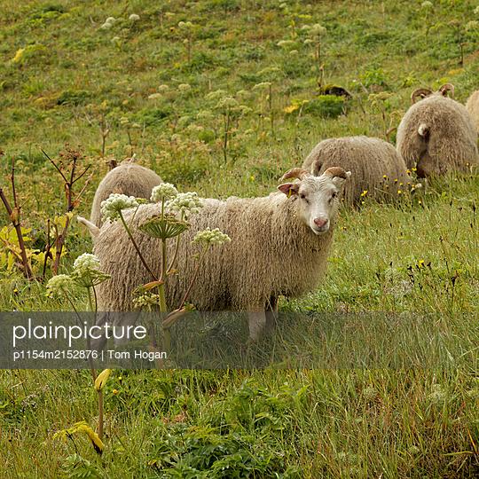 Icelandic sheep - p1154m2152876 by Tom Hogan