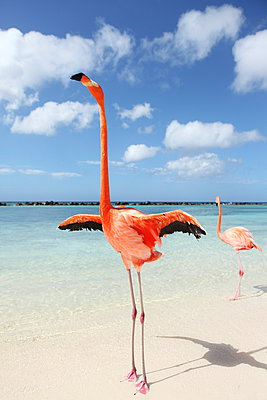 Flamingos at Aruba - p045m912536 by Jasmin Sander