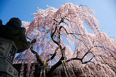 During Cherry Blossom - p265m794130 by Oote Boe