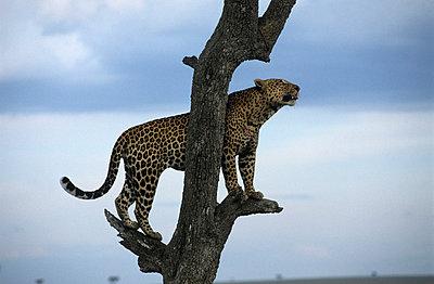 Masai Mara - p3300475 von Harald Braun