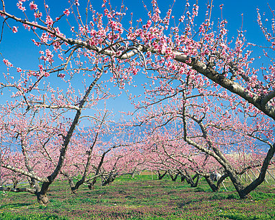 Pink Blossoms on Trees, Yamanashi Prefecture, Japan - p5147631f by Gyro Photography