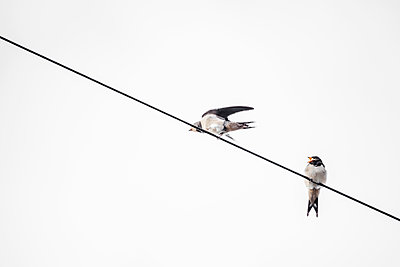 Two Swallows perched on a phone line - p1302m2151565 by Richard Nixon