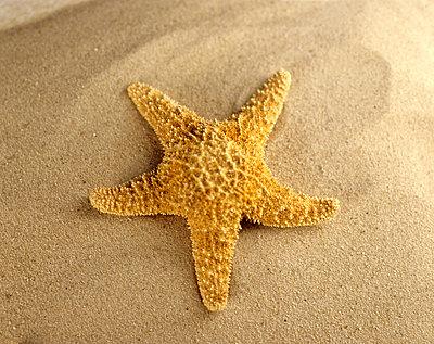 Starfish on beach, close-up - p3006243f by Tom Hoenig
