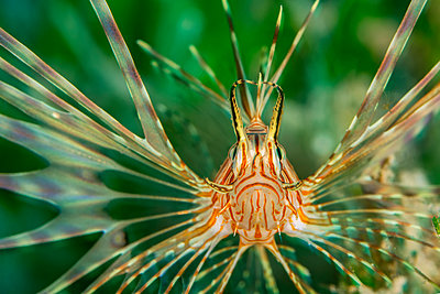 Egypt, Red Sea, Hurghada, Indian lionfish - p300m1562834 by Herbert Meyrl