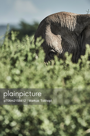 Elephant head in a sanctuary, Kenya - p706m2158412 by Markus Tollhopf