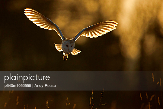 Barn Owl hunting at sunrise, UK, March.