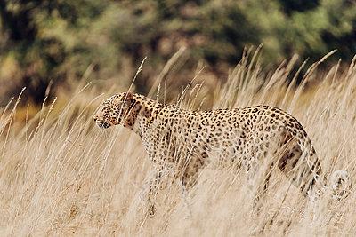 Ein Leopard im hohen Gras, Kalahari, Südafrika - p1065m982662 von KNSY Bande