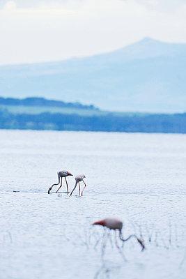 Flamingos - p533m1152674 by Böhm Monika