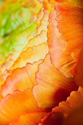Ranunculus flower head, extreme close-up - p624m699447f by Odilon Dimier