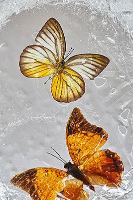 Schmetterling - p1294m1559417 von Sabine Bungert