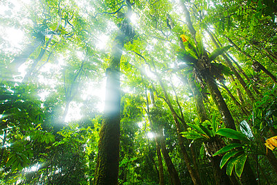 Hawaii, Maui, Kipahulu, Haleakala National Park, Light Rays Filtering Through Jungle Canopy - p442m934947 by Makena Stock Media