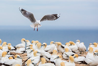 Red-billed gull (Chroicocephalus scopulinus) in gannet breeding colony at Cape Kidnappers - p871m884399 by Michael Nolan