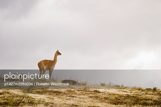 Guanaco on hillside, Patagonia, Torres del Paine National Park, Chile - p1427m2283234 by Roberto Westbrook