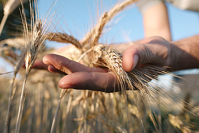 Man's hands holding wheat ears - p300m2023925 by Katharina Mikhrin