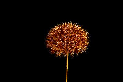 Golden dandelion - p451m2281208 by Anja Weber-Decker