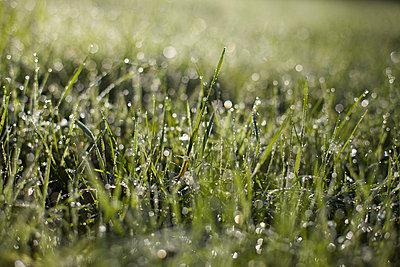 Wet grass - p5861410 by Kniel Synnatzschke