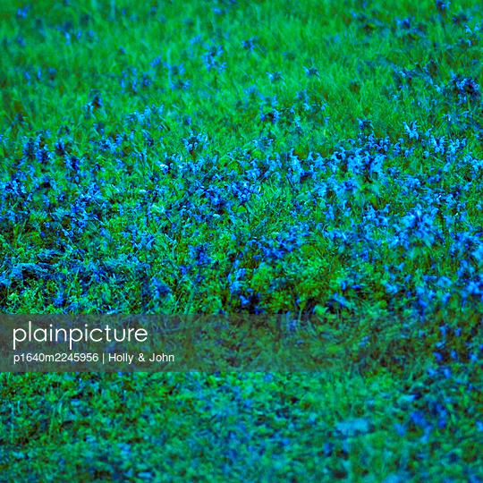 Blue blooming flowers, multiple exposure - p1640m2245956 by Holly & John