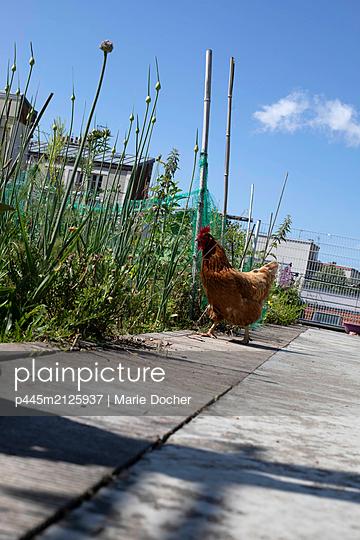 Hen on a roof garden - p445m2125937 by Marie Docher