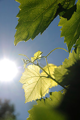 Vine leaf in summer - p067m916476 by Thomas Grimm
