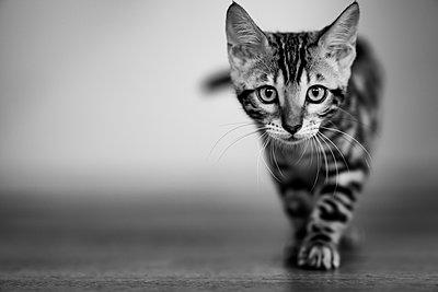 Junge Katze - p1637m2232007 von Vogel