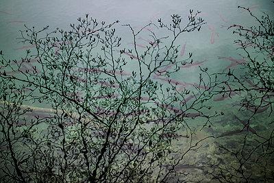 Fische unter Baumspiegelung, Plitvička Jezera - p703m1200262 von Anna Stumpf