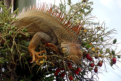 Iguana - p162m1025631 by Beate Bussenius