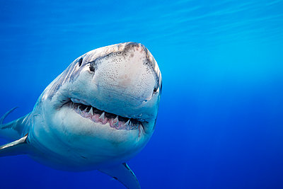Great White Shark (Carcharodon carcharias) was photographed off Guadalupe Island; Mexico  - p442m1578802 by Dave Fleetham