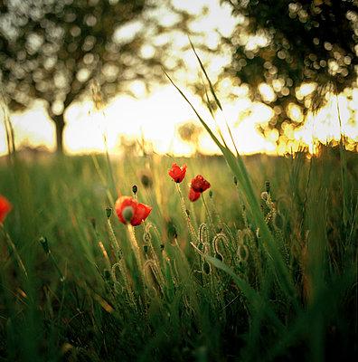 Poppy - p1197m995478 by Stefan Bungert