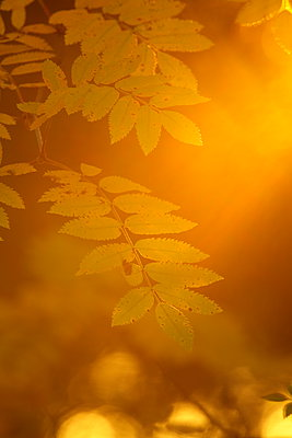 Ebereschenblätter in der Morgensonne - p235m1071740 von KuS