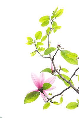 Ast mit Magnolienblüte - p606m900695 von Iris Friedrich