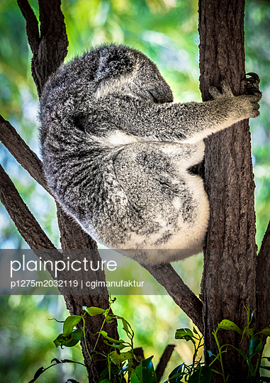 Australien Koala - p1275m2032119 von cgimanufaktur