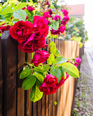 Red rose flowers - p312m1084283f by Mikael Svensson