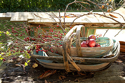 Windfall apples and berries in wooden trug on garden table;  Isle of Wight;  UK - p349m920022 by Rachel Whiting