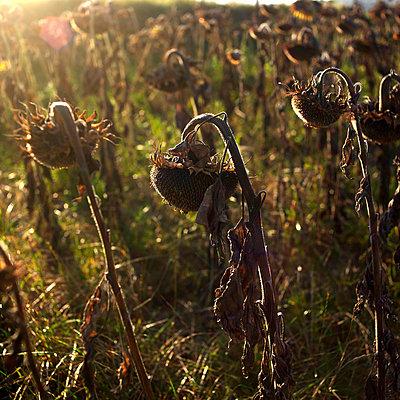 Ripe sunflowers - p8130158 by B.Jaubert