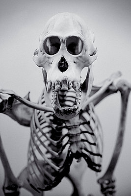 Close up on Chimpanzee Skeleton - p1072m2164566 by Neville Mountford-Hoare