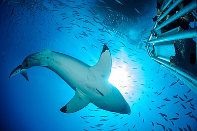 Mexico, Guadalupe, Pacific Ocean, scuba diver in shark cage photographing white shark, Carcharodon carcharias - p300m950312f by Guido Floren