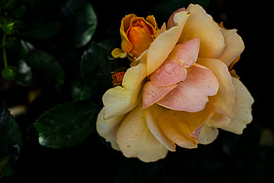 Close-up of yellow rose - p312m2280709 by Ellinor Hall