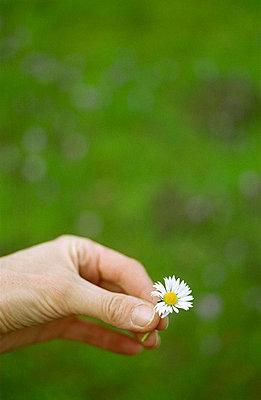 Daisy - p3980078 by Karin Gerdes
