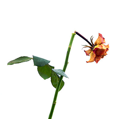 Broken rose - p8130508 by B.Jaubert