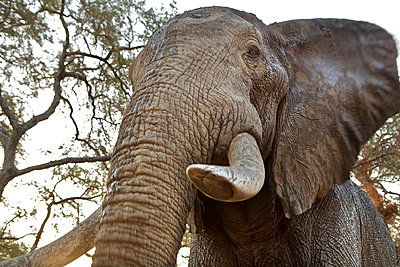African elephant, close up, low angle view - p92411213f by David Fettes